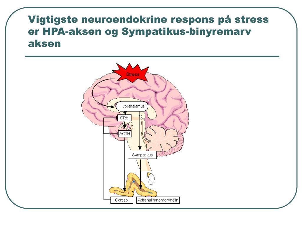 Vigtigste neuroendokrine respons på stress er HPA-aksen og Sympatikus-binyremarv aksen