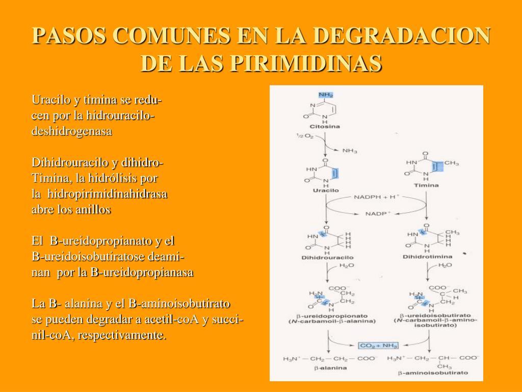 PASOS COMUNES EN LA DEGRADACION DE LAS PIRIMIDINAS