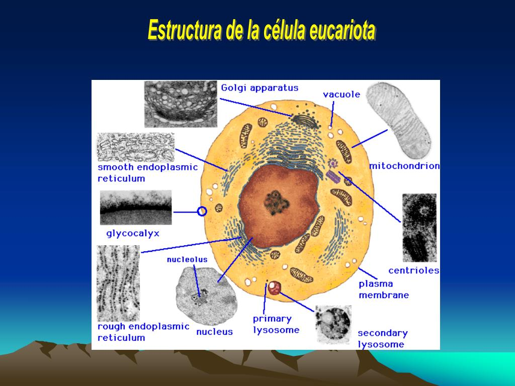Estructura de la célula eucariota