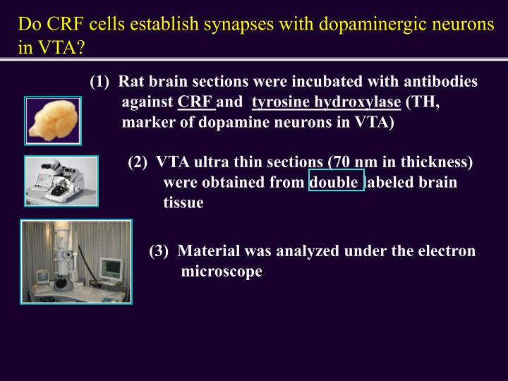 Do CRF cells establish synapses with dopaminergic neurons in VTA?