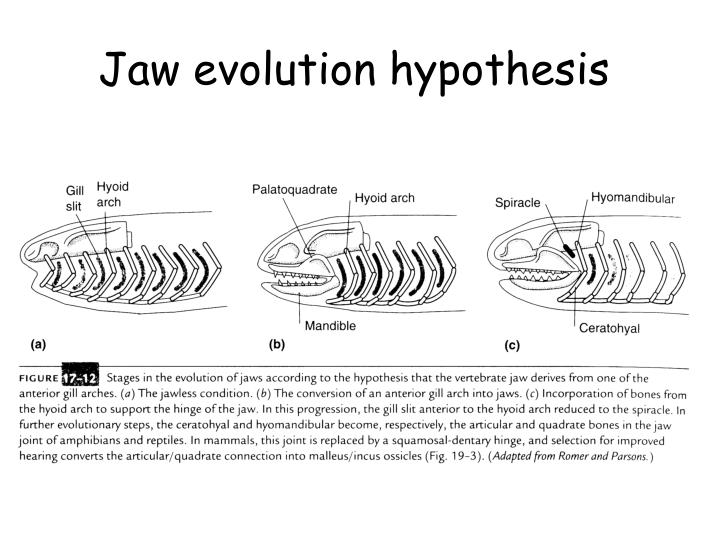 Jaw evolution hypothesis