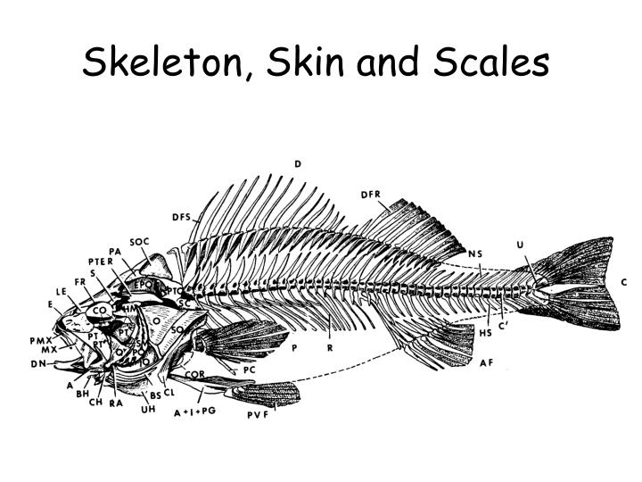 Skeleton skin and scales