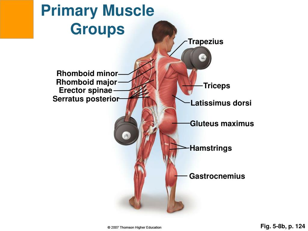 Primary Muscle Groups