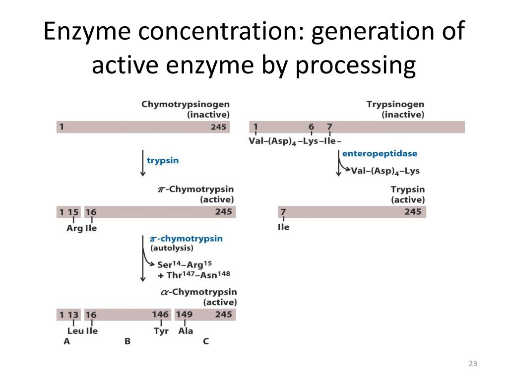 Enzyme concentration: generation of active enzyme by processing