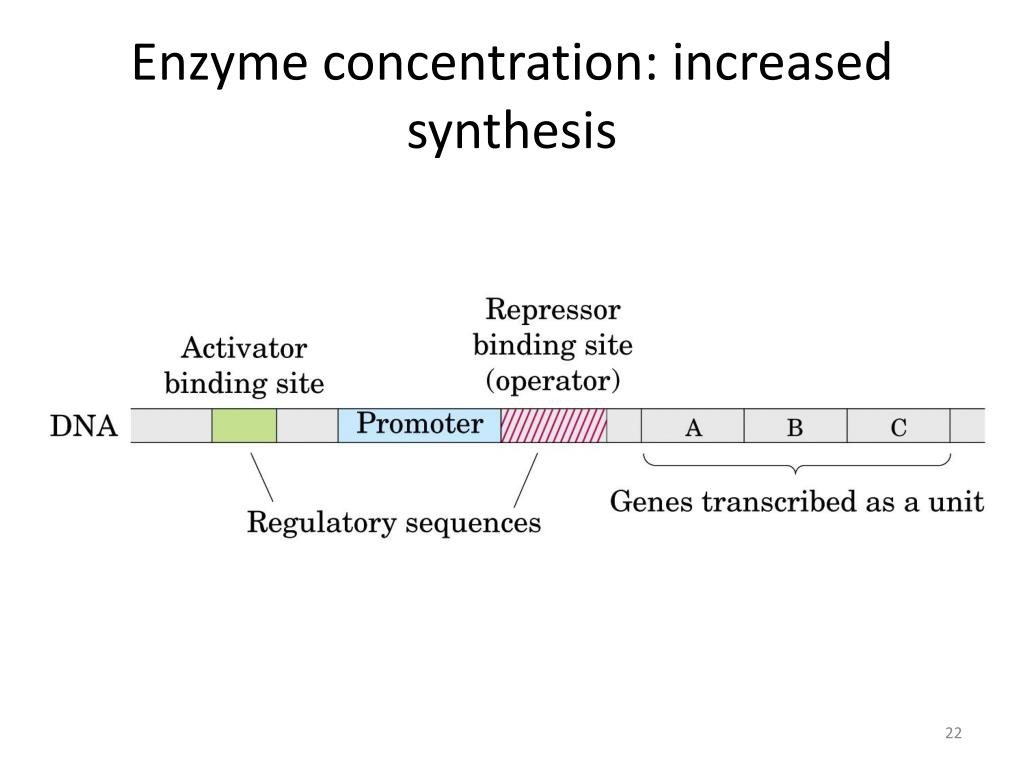 Enzyme concentration: increased synthesis