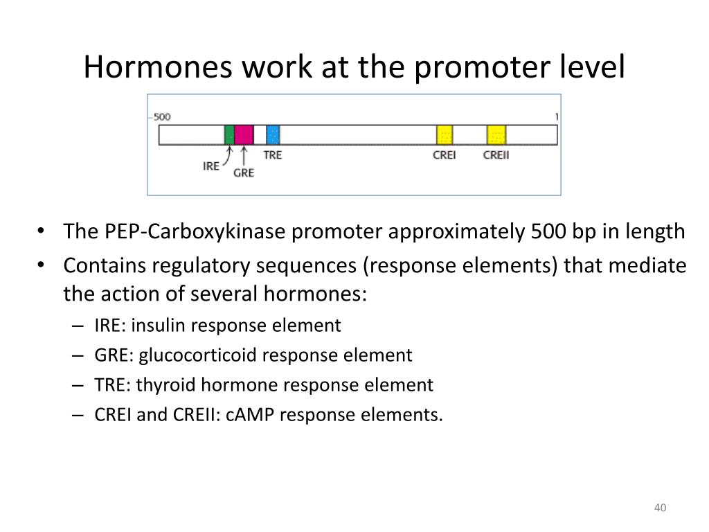 Hormones work at the promoter level