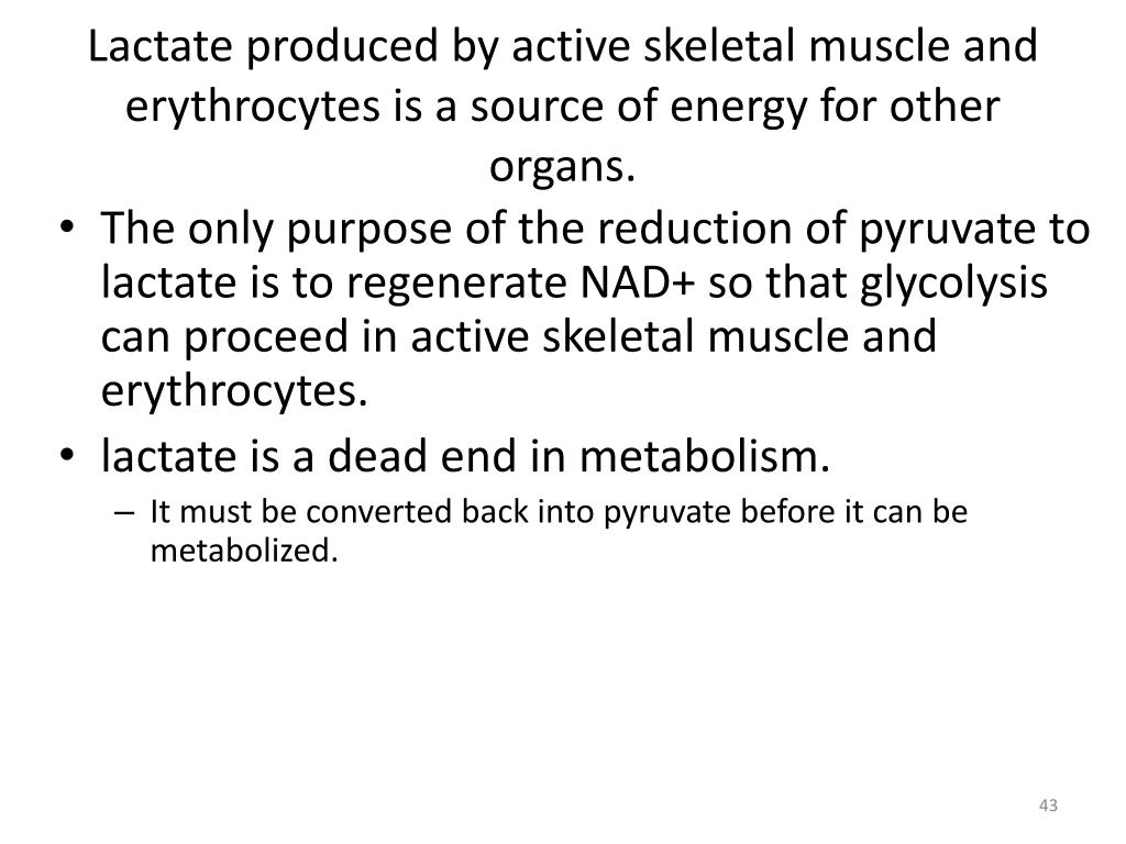 Lactate produced by active skeletal muscle and erythrocytes is a source of energy for other organs.