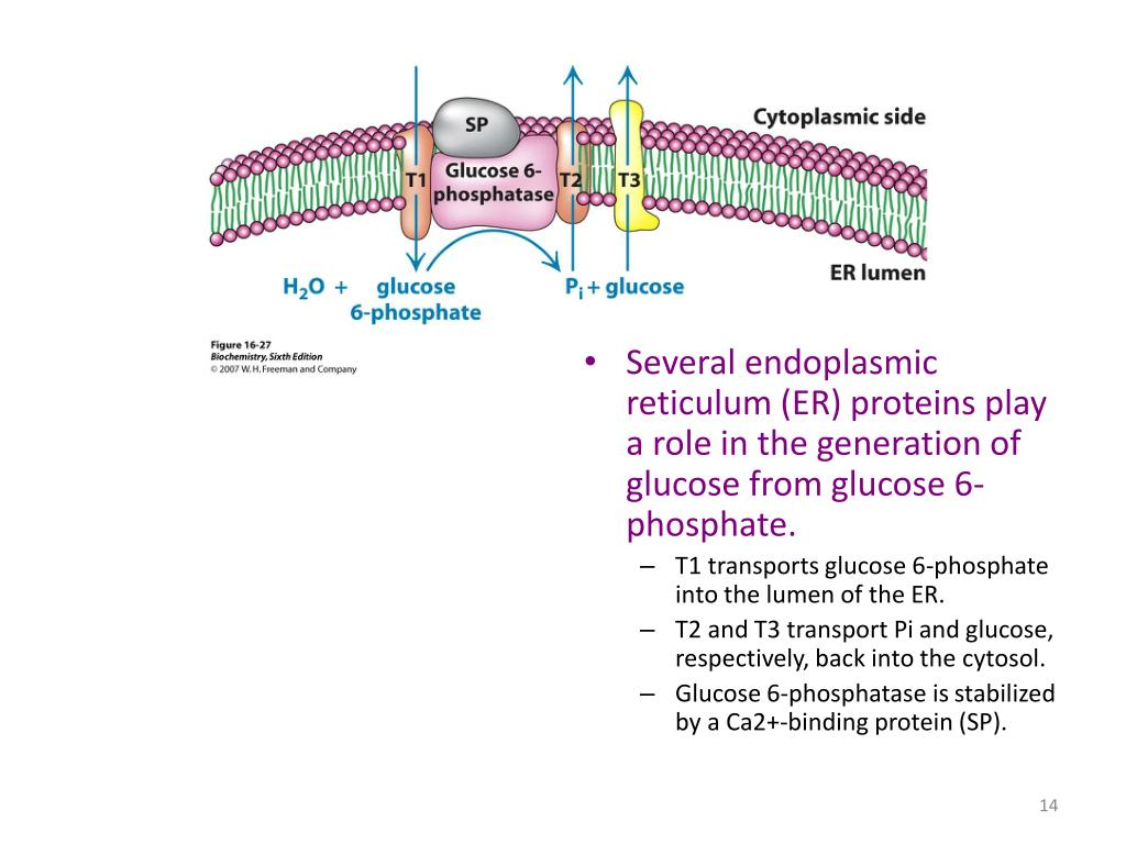 Several endoplasmic reticulum (ER) proteins play a role in the generation of glucose from glucose 6-phosphate.