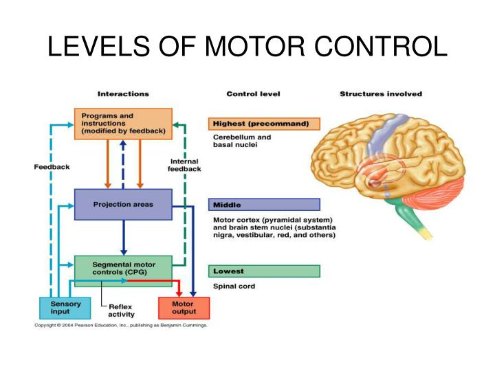 Ppt The Peripheral Nervous System And Reflex Activity Powerpoint Presentation Id 498794