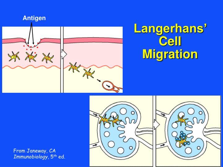 Langerhans' Cell Migration