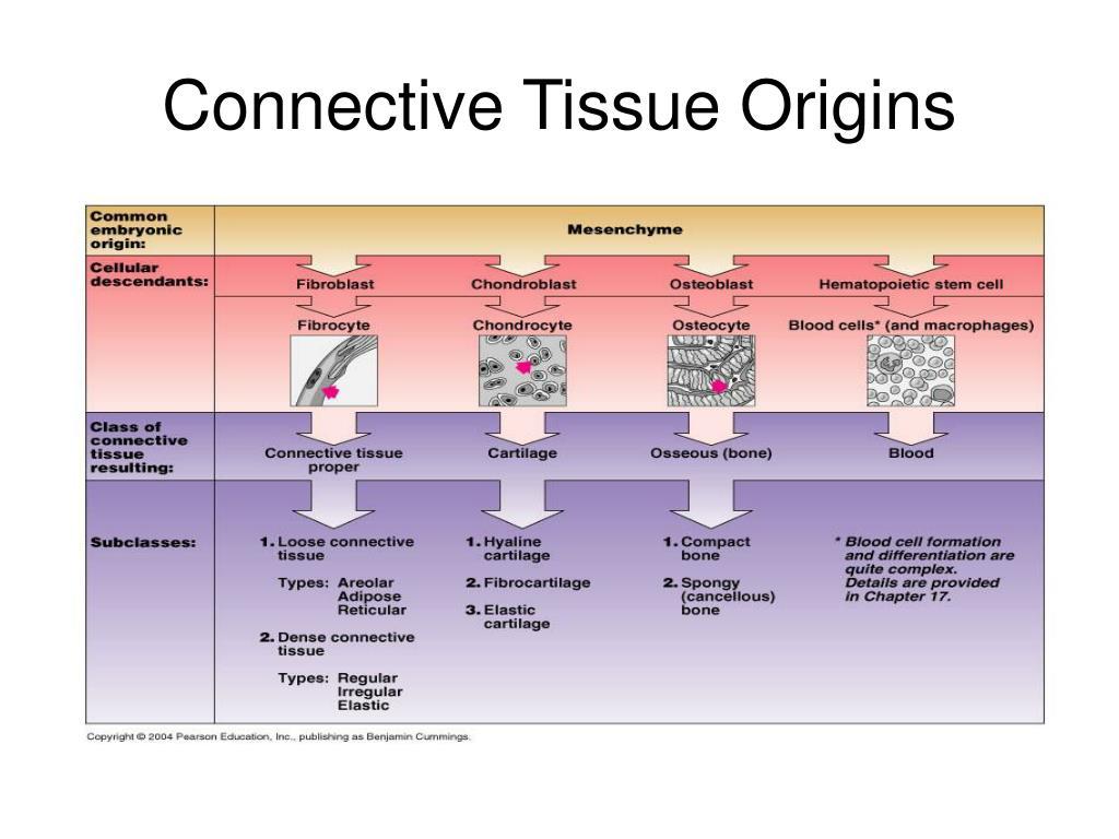 Connective Tissue Origins