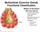 multicellular exocrine glands functional classification
