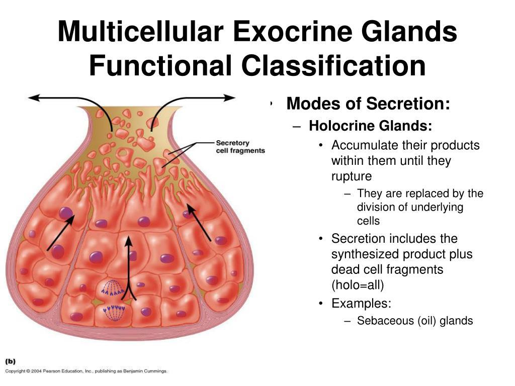 Multicellular Exocrine Glands