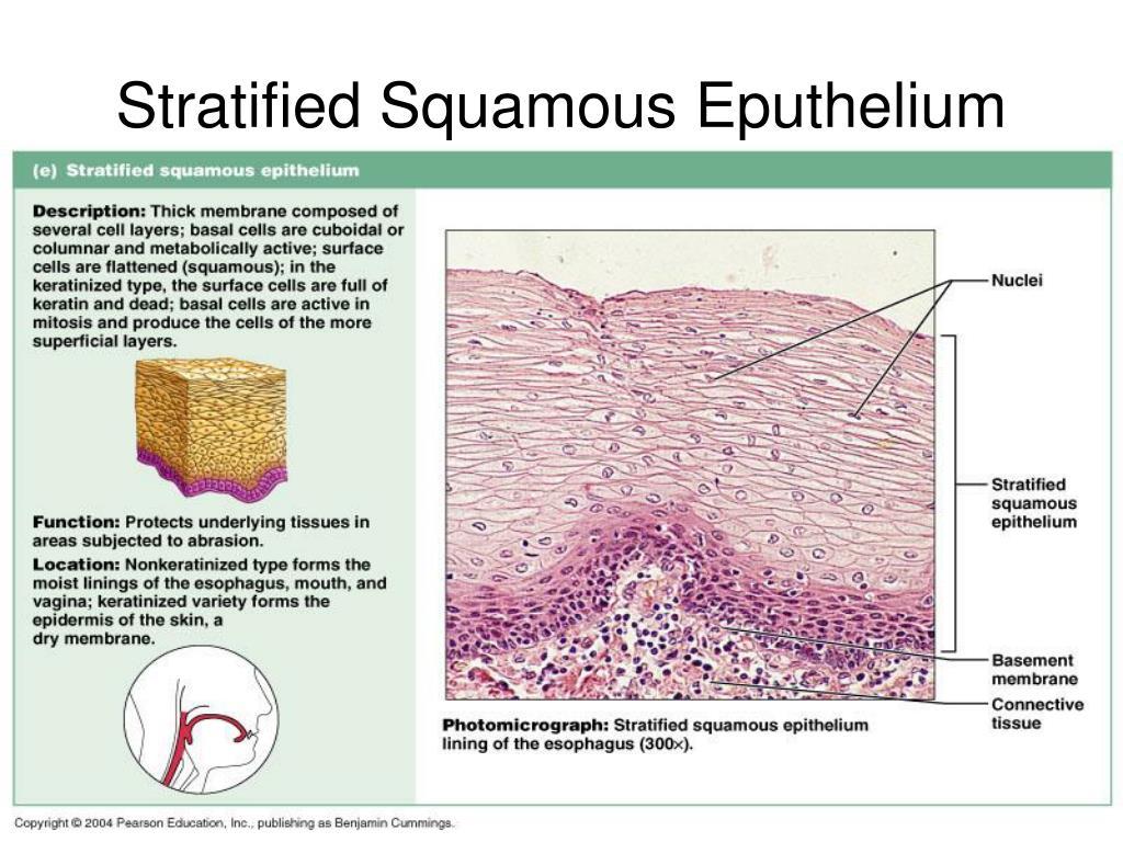 Stratified Squamous Eputhelium