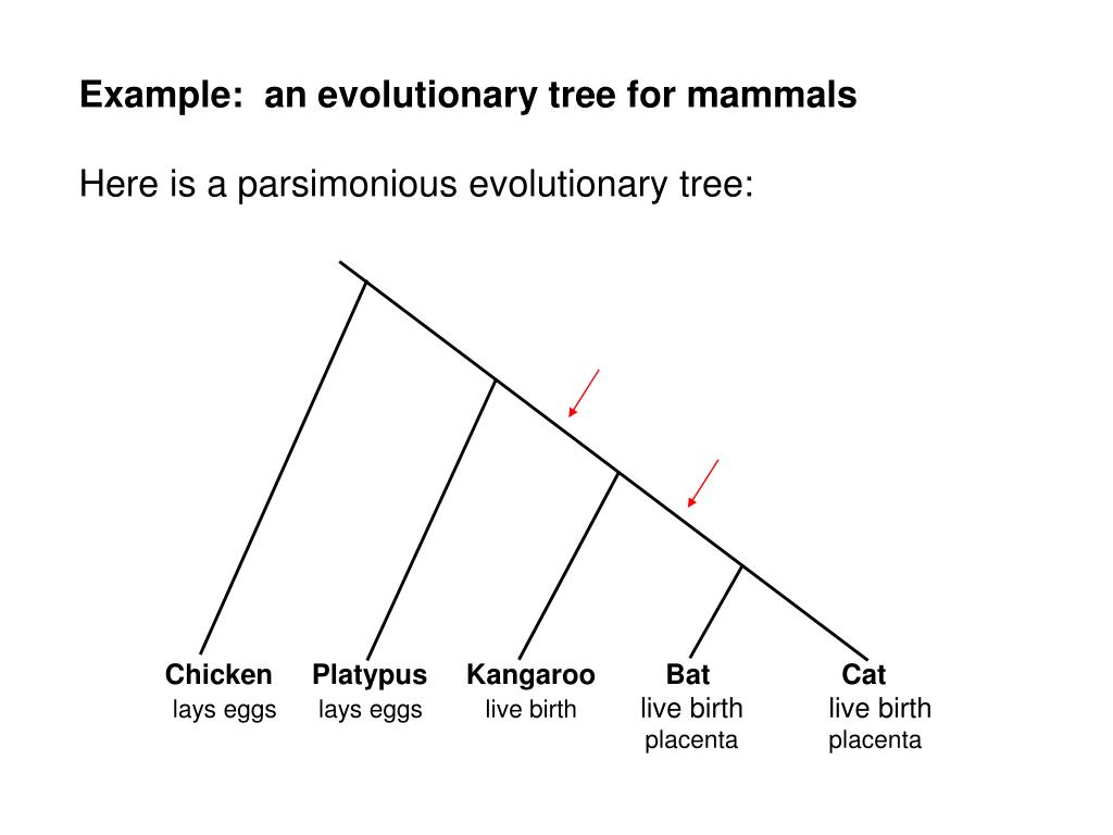Example:  an evolutionary tree for mammals