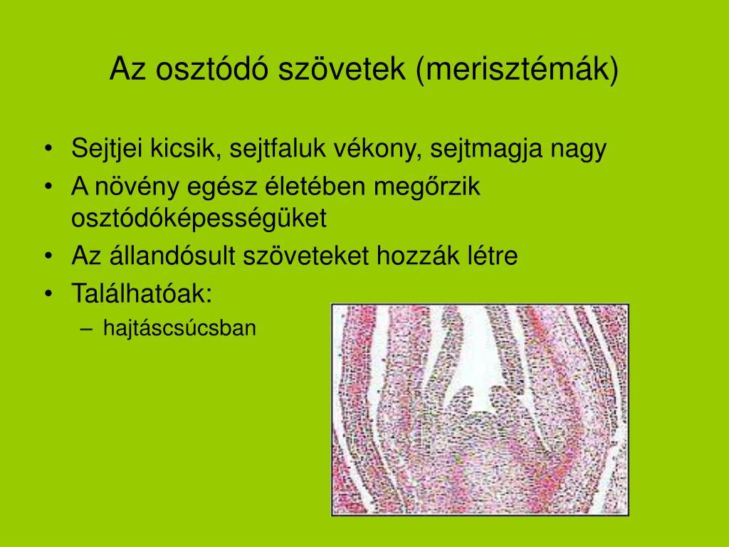 Az osztódó szövetek (merisztémák)
