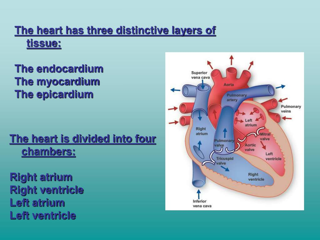 The heart has three distinctive layers of tissue: