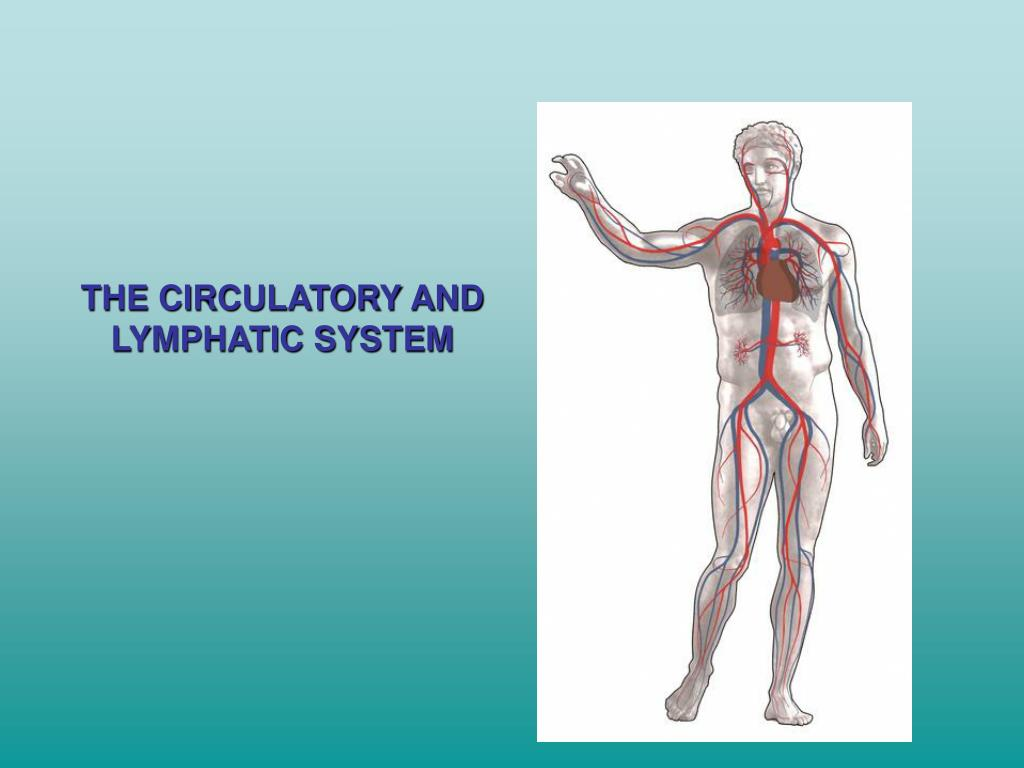 THE CIRCULATORY AND