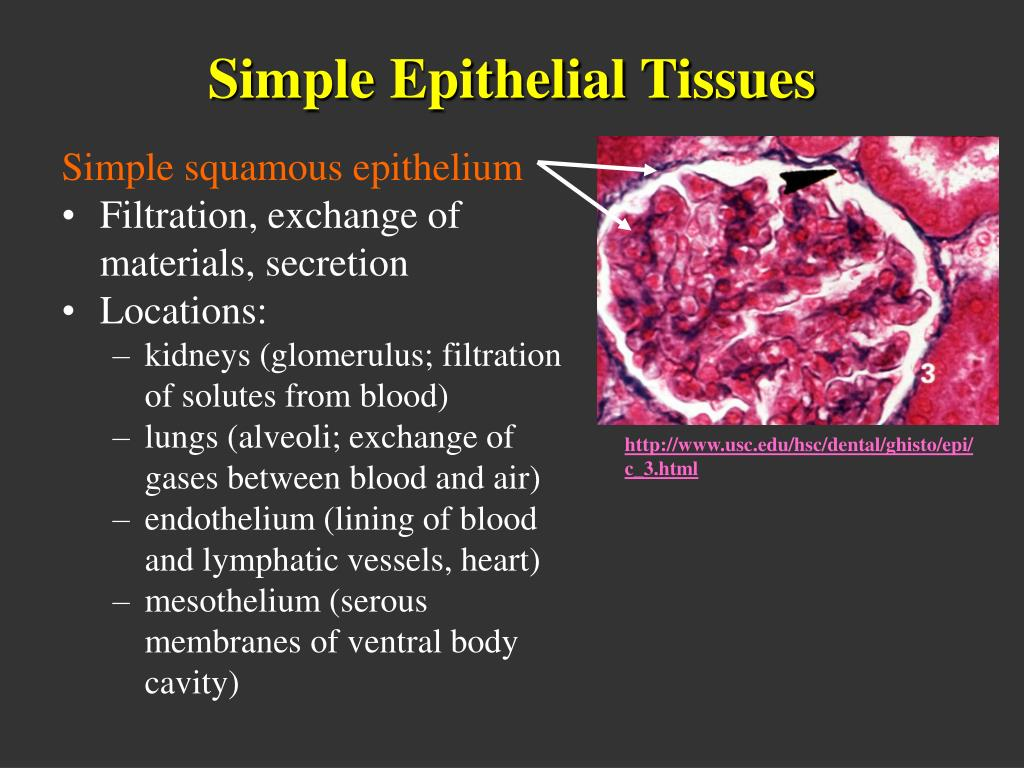 Simple Epithelial Tissues