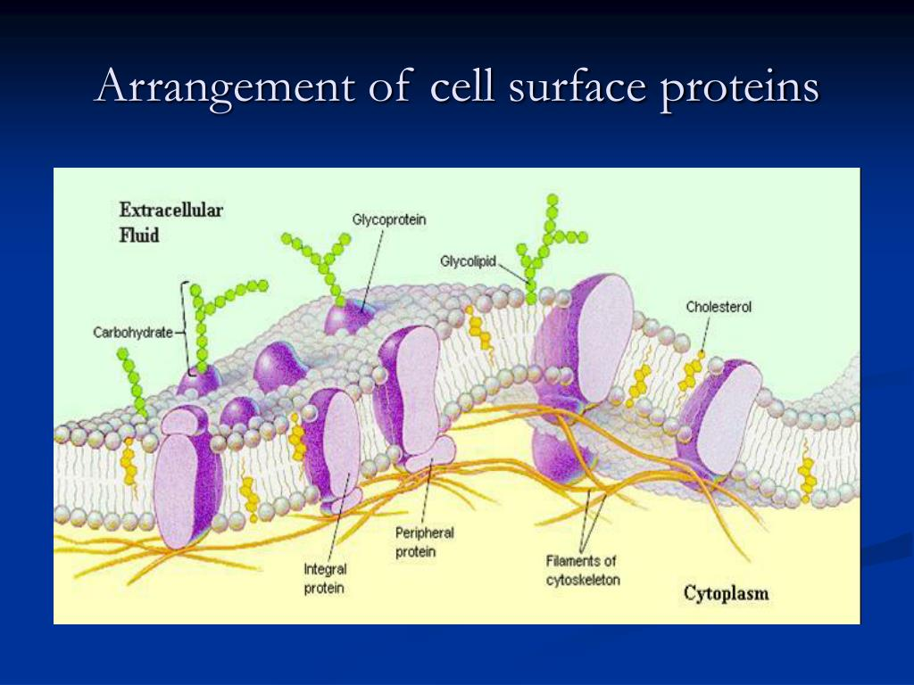 Arrangement of cell surface proteins