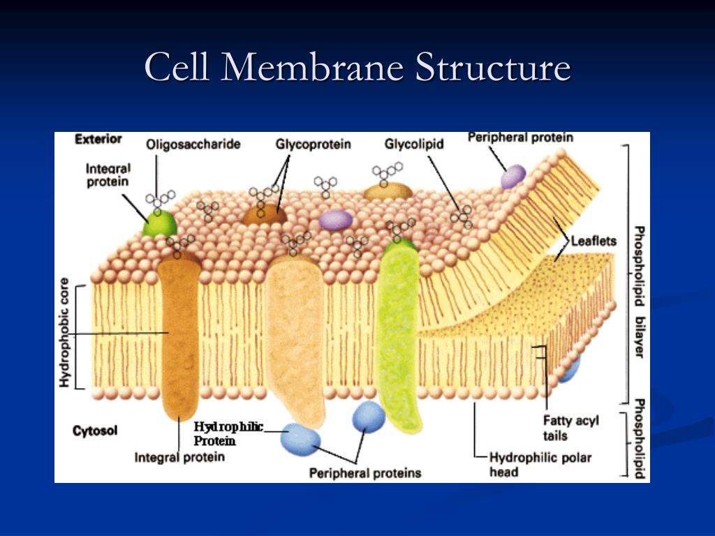 Build A Membrane : Ppt the cell membrane powerpoint presentation id