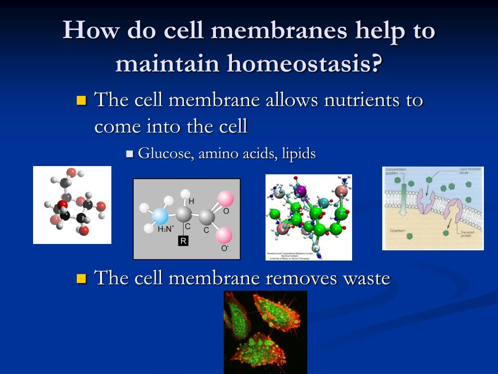 How do cell membranes help to maintain homeostasis?