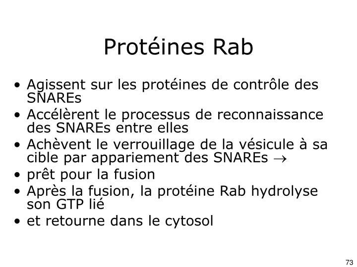 Protéines Rab