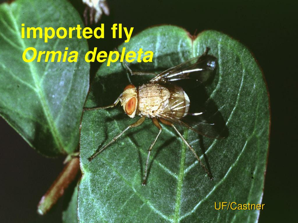 imported fly