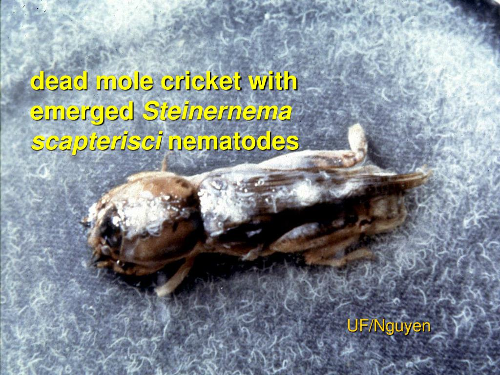 dead mole cricket with emerged