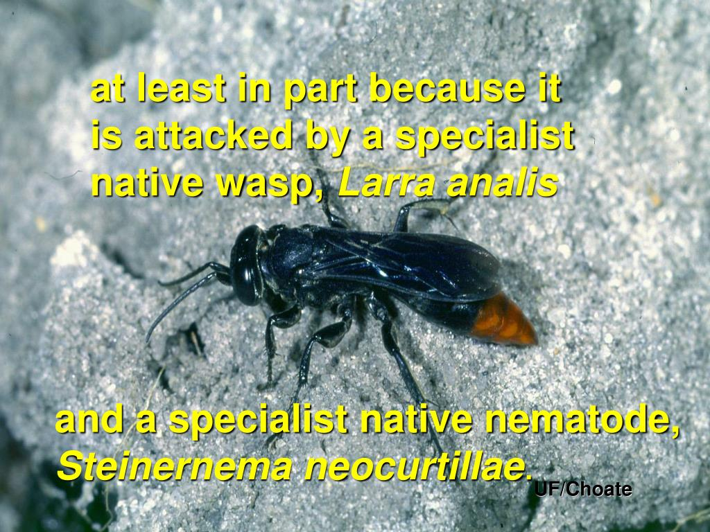 at least in part because it              is attacked by a specialist       native wasp,