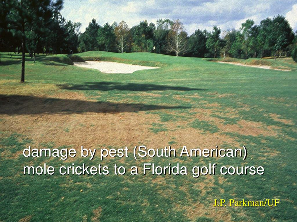 damage by pest (South American) mole crickets to a Florida golf course