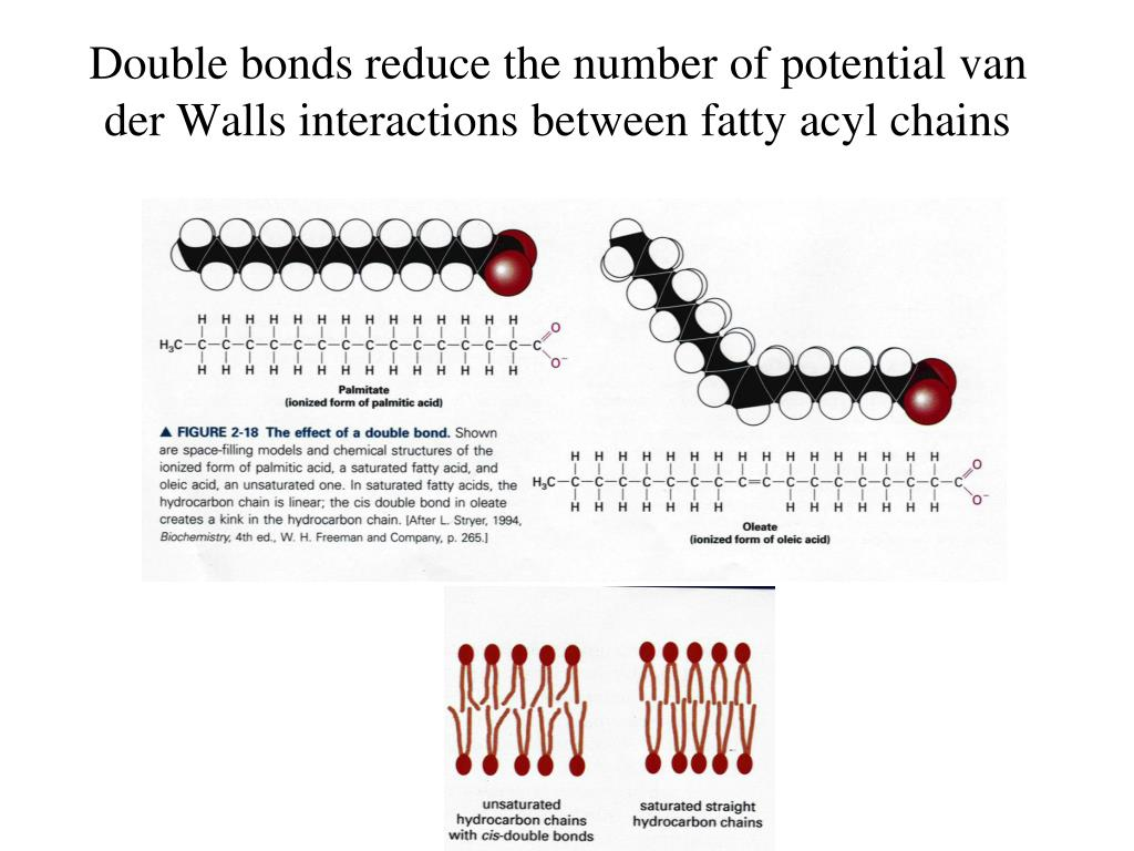 Double bonds reduce the number of potential van der Walls interactions between fatty acyl chains