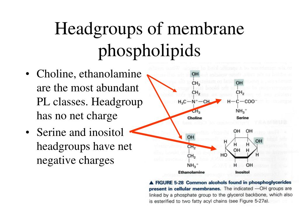 Headgroups of membrane phospholipids