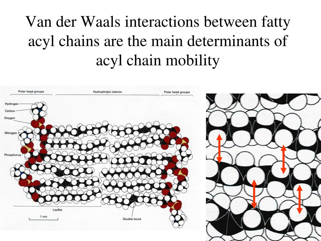 Van der Waals interactions between fatty acyl chains are the main determinants of acyl chain mobility