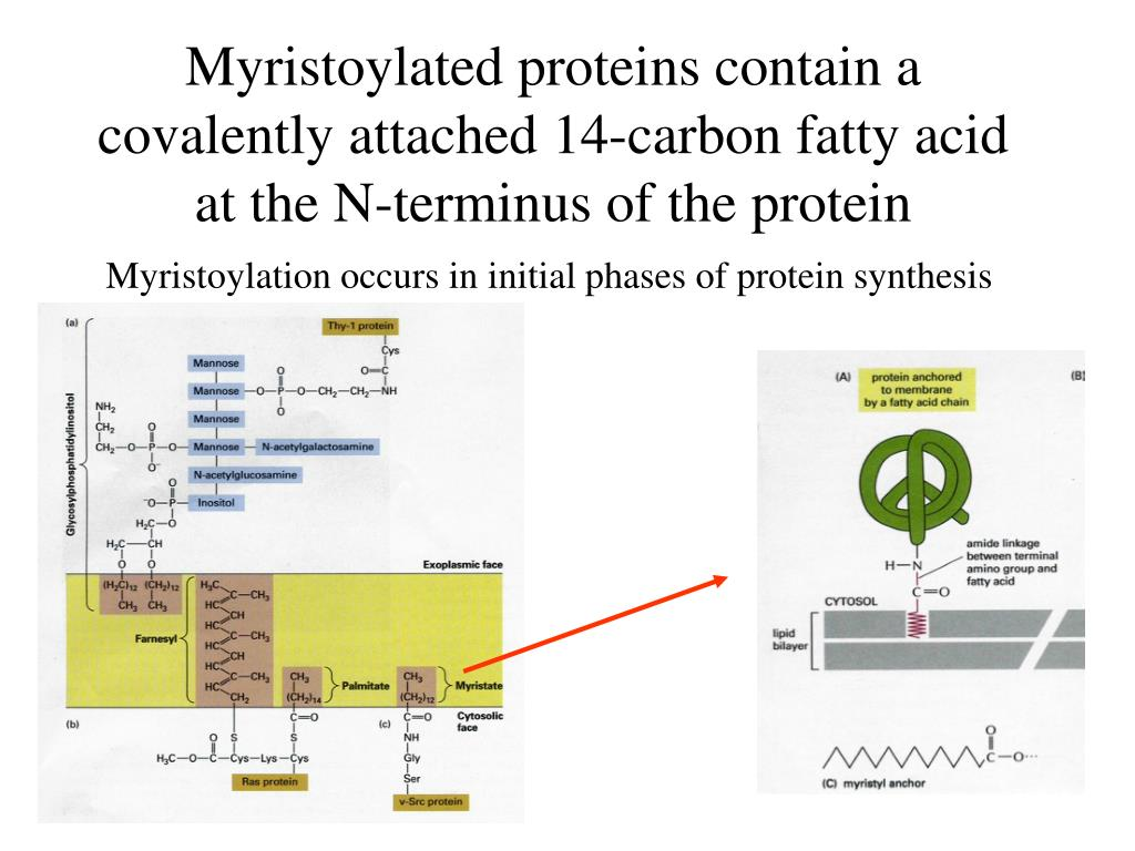 Myristoylated proteins contain a covalently attached 14-carbon fatty acid at the N-terminus of the protein