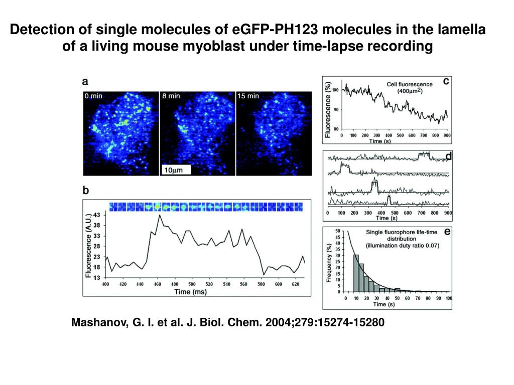 Detection of single molecules of eGFP-PH123 molecules in the lamella of a living mouse myoblast under time-lapse recording