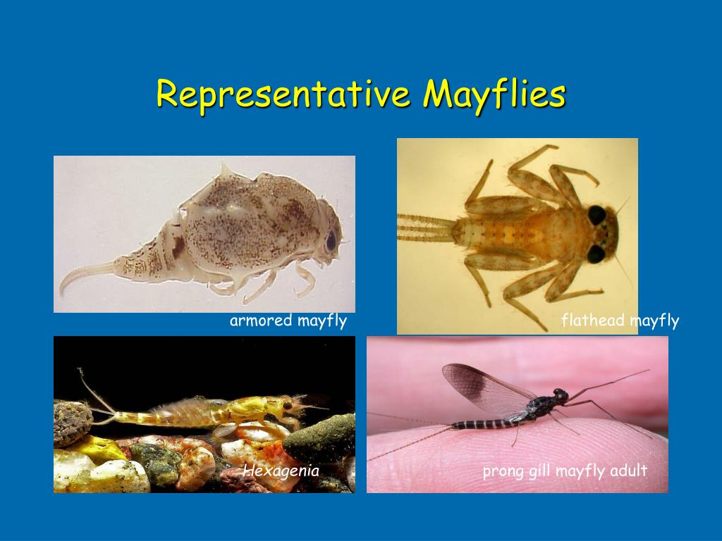 Representative Mayflies