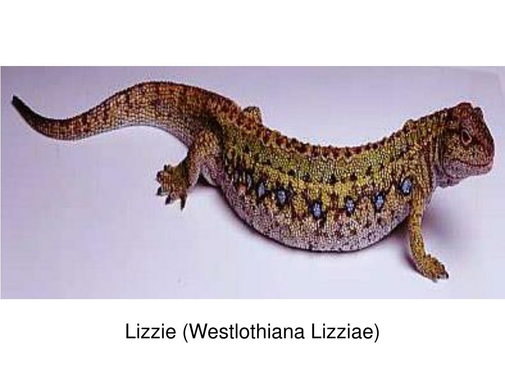 Lizzie (Westlothiana Lizziae)