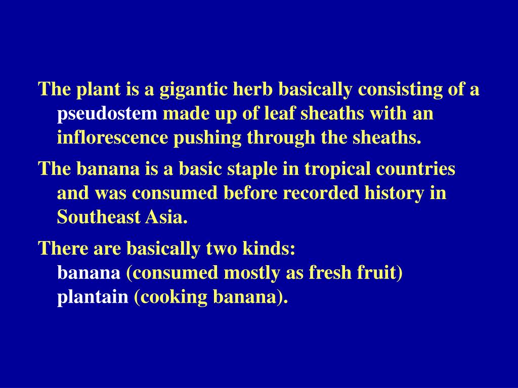 The plant is a gigantic herb basically consisting of a