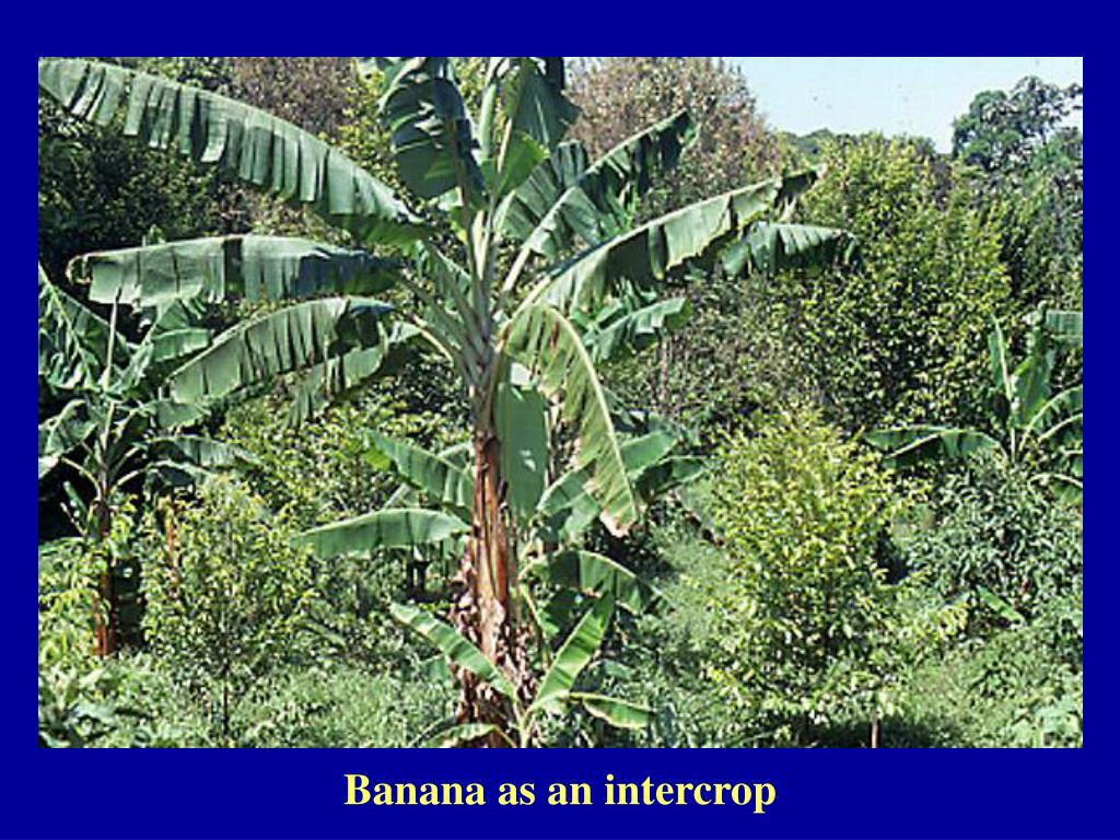Banana as an intercrop