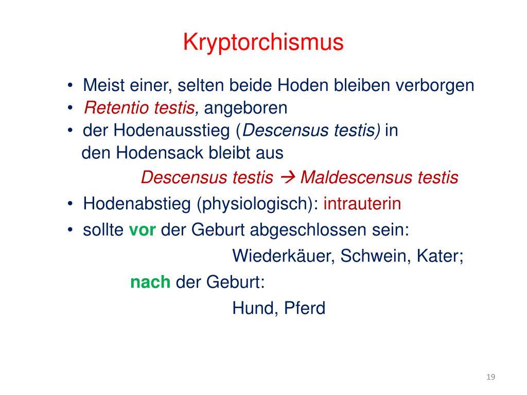 Kryptorchismus Kater