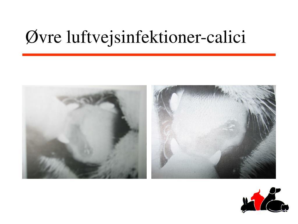 Øvre luftvejsinfektioner-calici