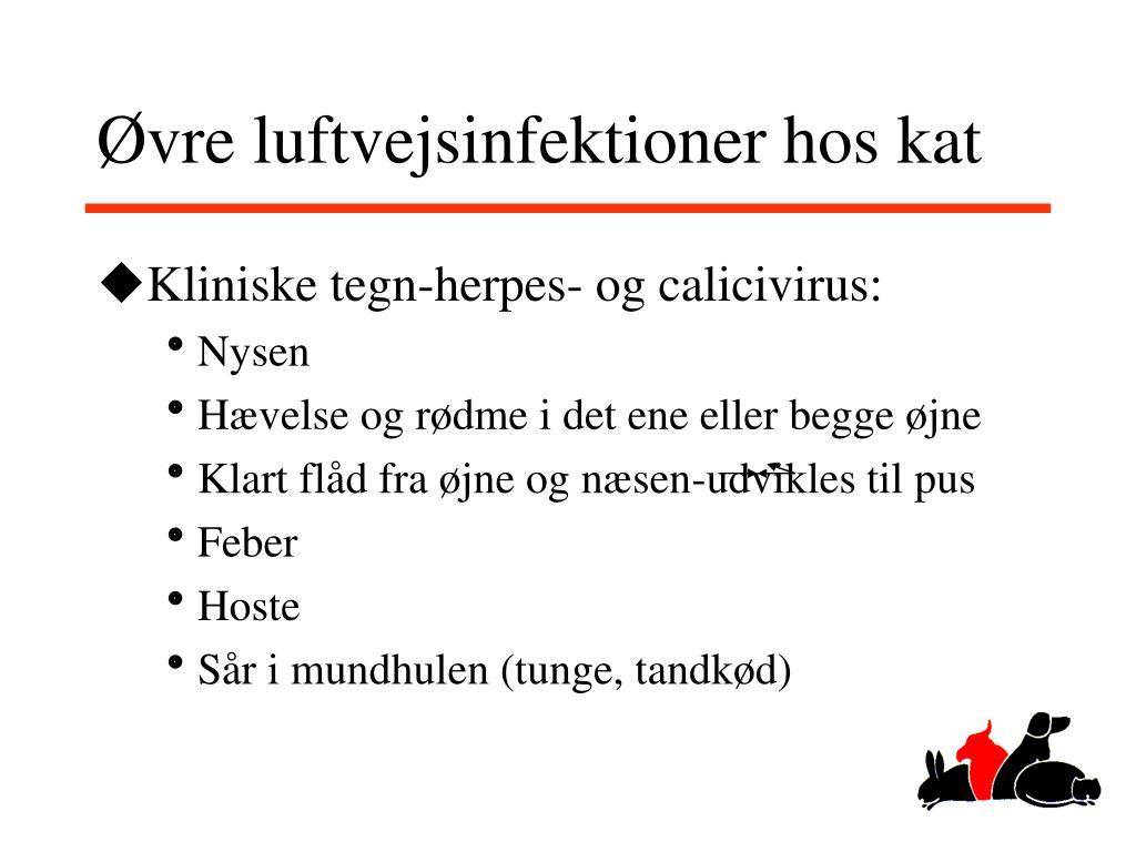 Øvre luftvejsinfektioner hos kat