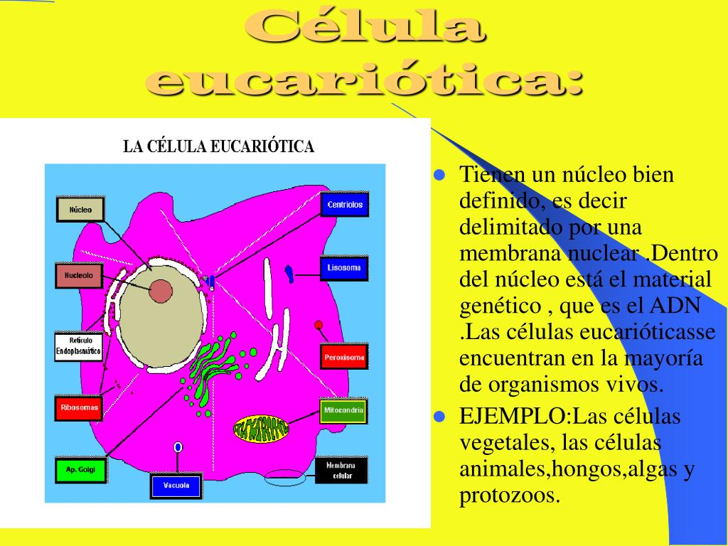 Célula eucariótica: