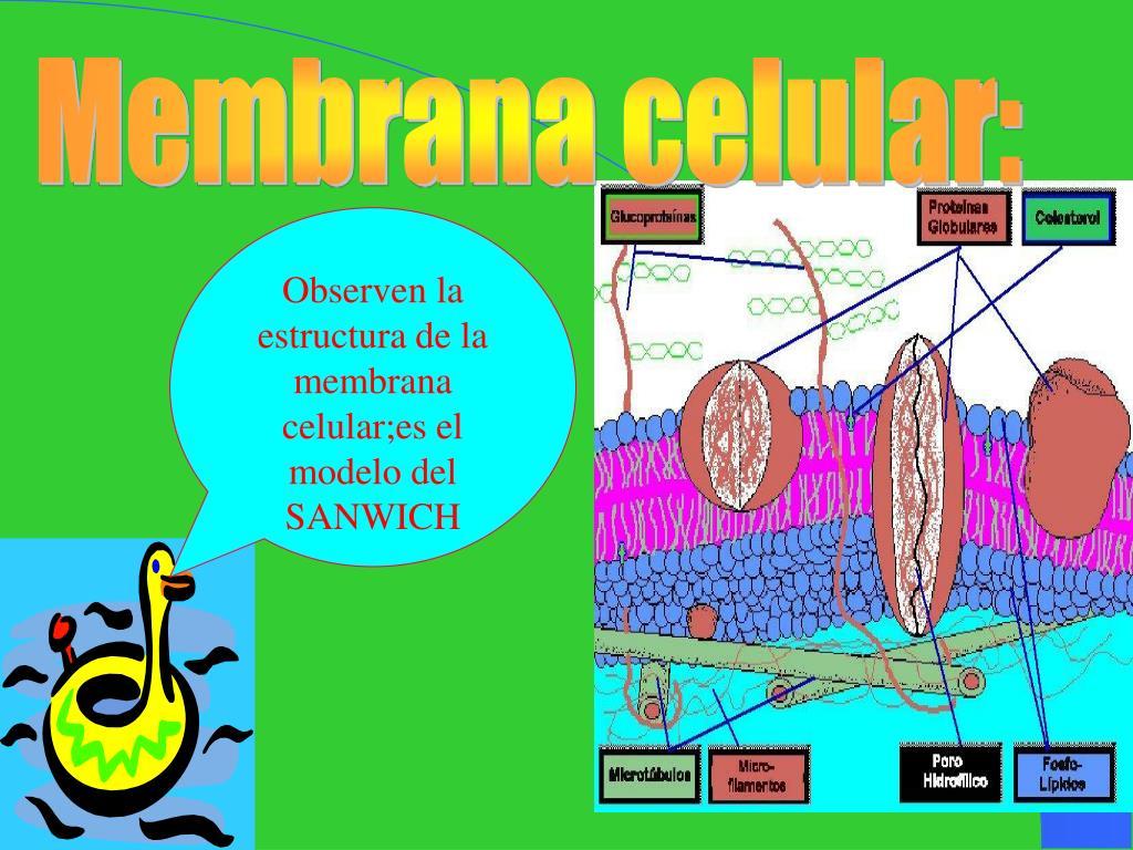 Membrana celular: