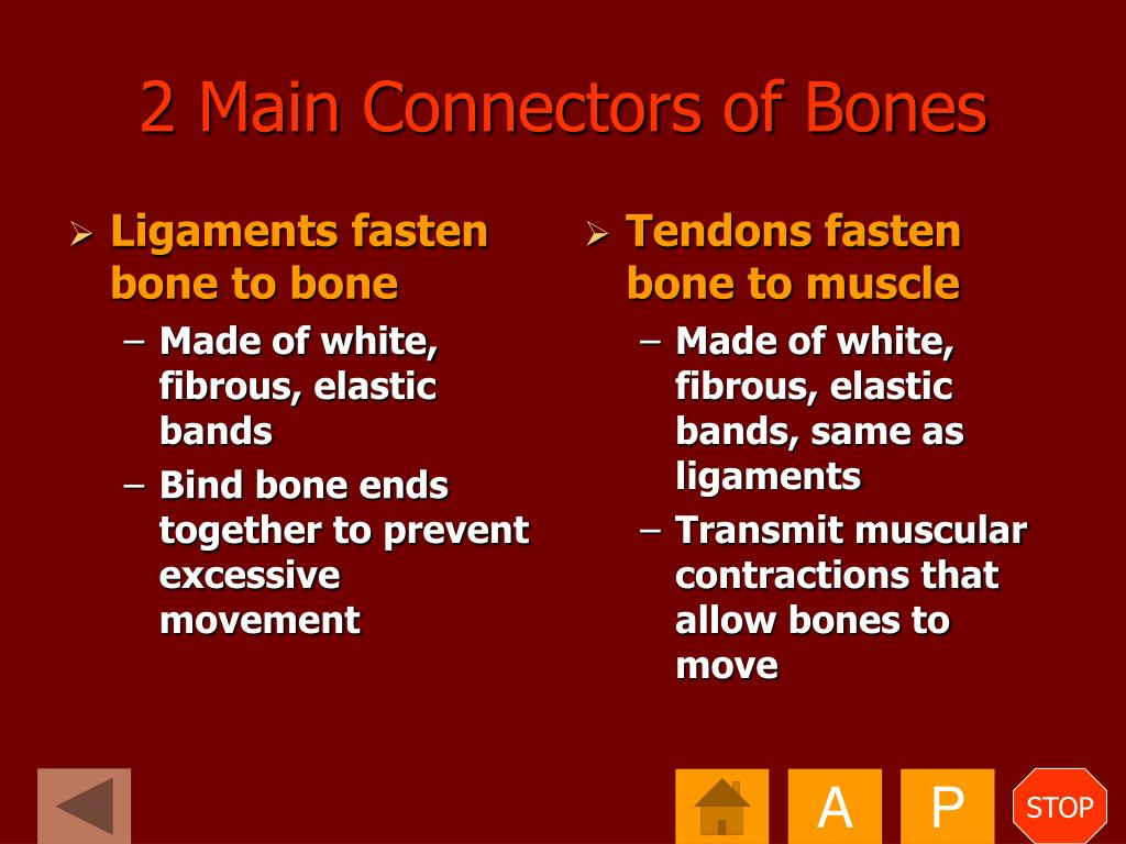 Ligaments fasten bone to bone