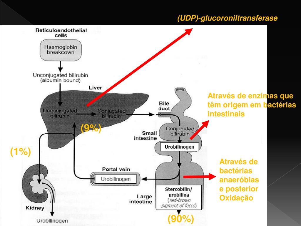 (UDP)-glucoroniltransferase