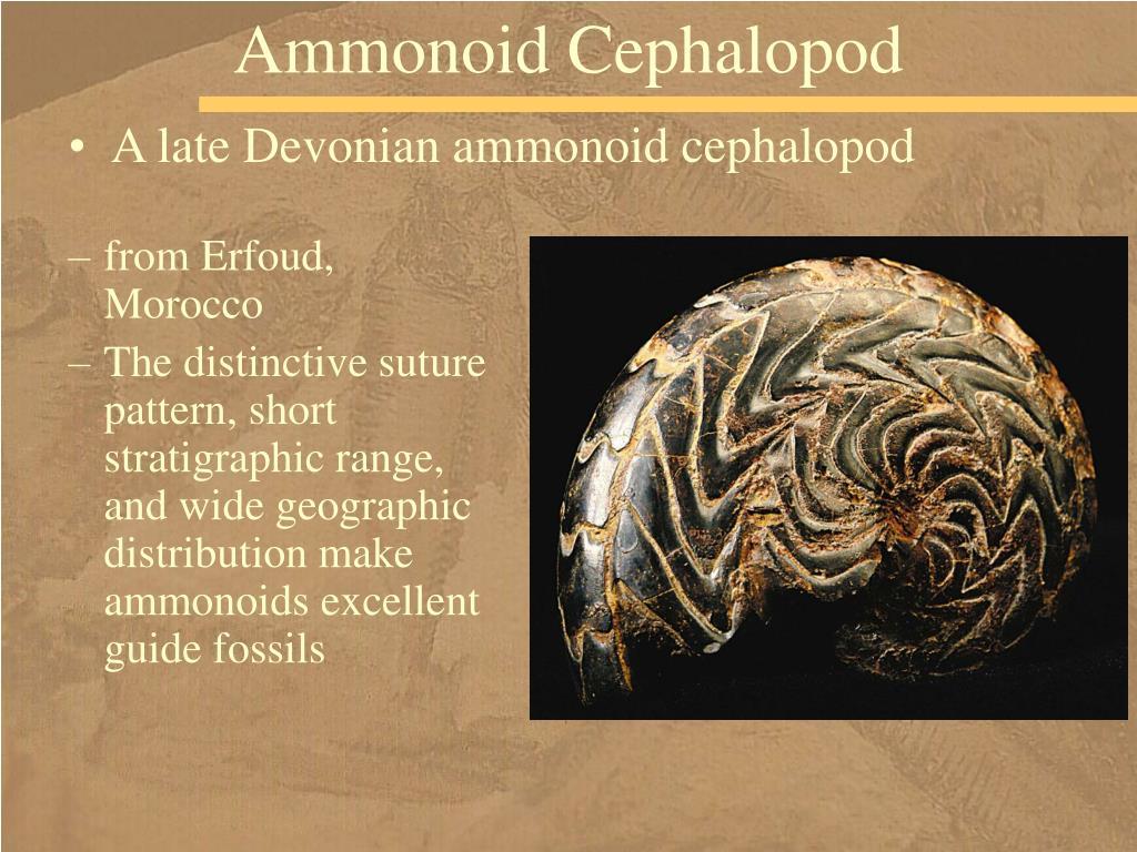 Ammonoid Cephalopod