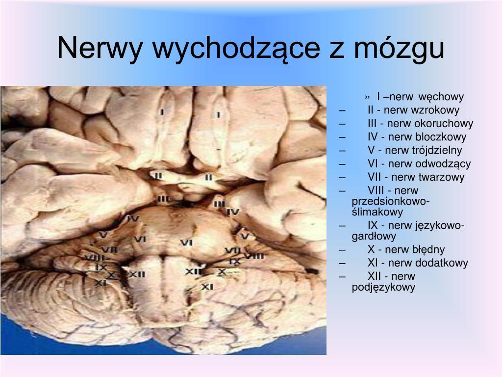 Nerwy wychodzące z mózgu