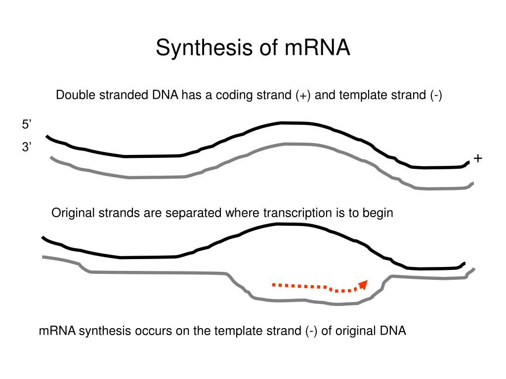 what is a template strand - ppt microbial genetics from genotype to phenotype